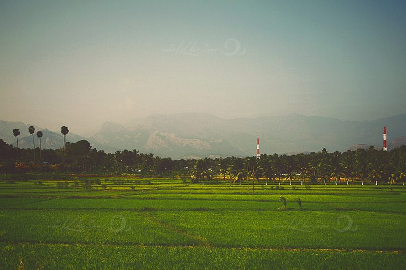 Paddy fields in Wayanadu