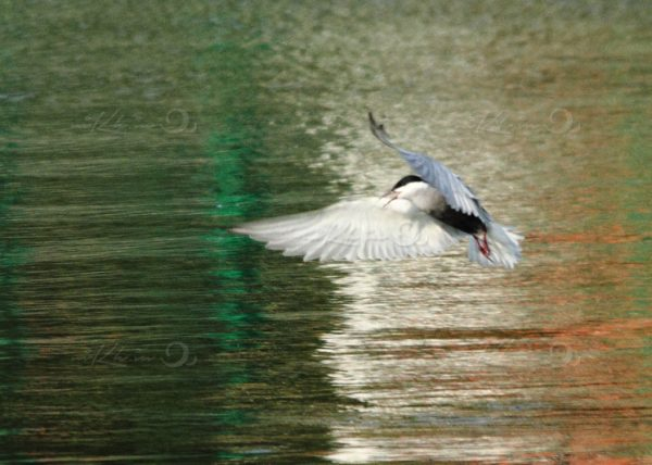 River Tern in Flight
