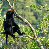 Lion-tailed Macaque
